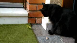 Cat gets attacked by a praying mantis !