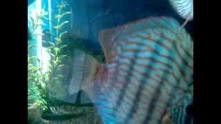 Discus Fish India