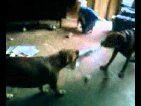 pitbull vs cur in tug of war youtube. Black Bedroom Furniture Sets. Home Design Ideas