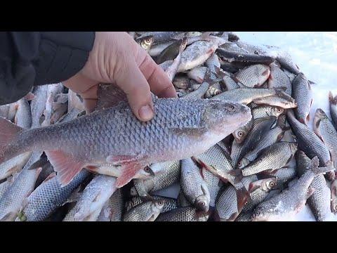 Плотва Ладожского озера, зимняя рыбалка