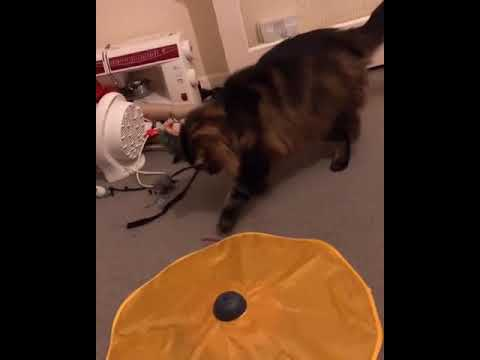 Norwegian Forest Cat (Reaction to birthday gift)