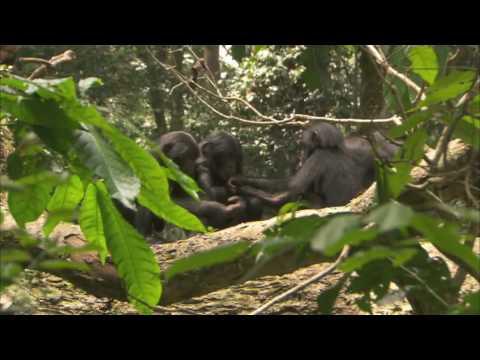Trailer do filme Bonobo