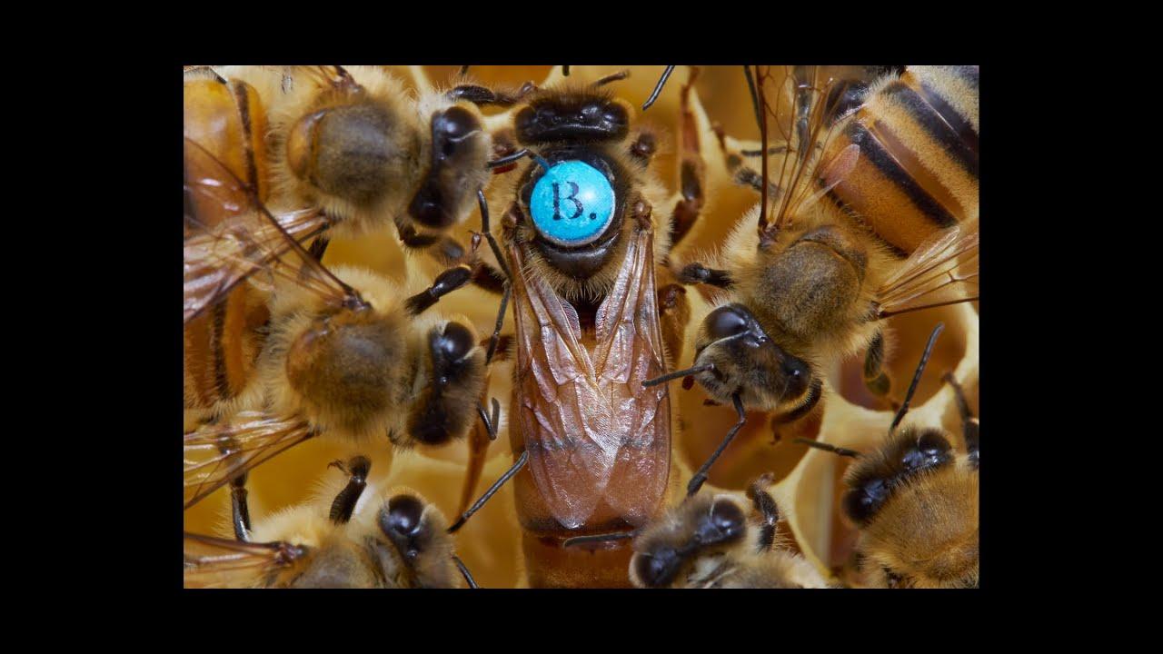 Ligustica produce miere ?  MIT sau realitate !