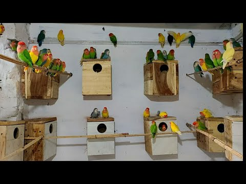 Lovebirds Box lga diye aur Nesting bhi kardi