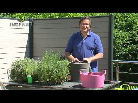 Comment Planter Du Thym Au Potager Ou En Pot Truffaut Youtube