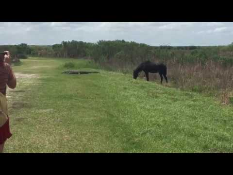 Wild horse attacks Alligator in Florida | Corporate Travel Concierge