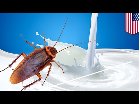 Cockroach milk: Nutrient powerhouse may be the new superfood - TomoNews