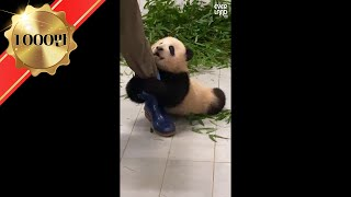 Baby panda 'FuBao' glued to the zookeeper dragging her around | Everland Panda World