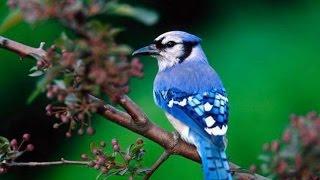 Самые красивые птицы цвета неба.