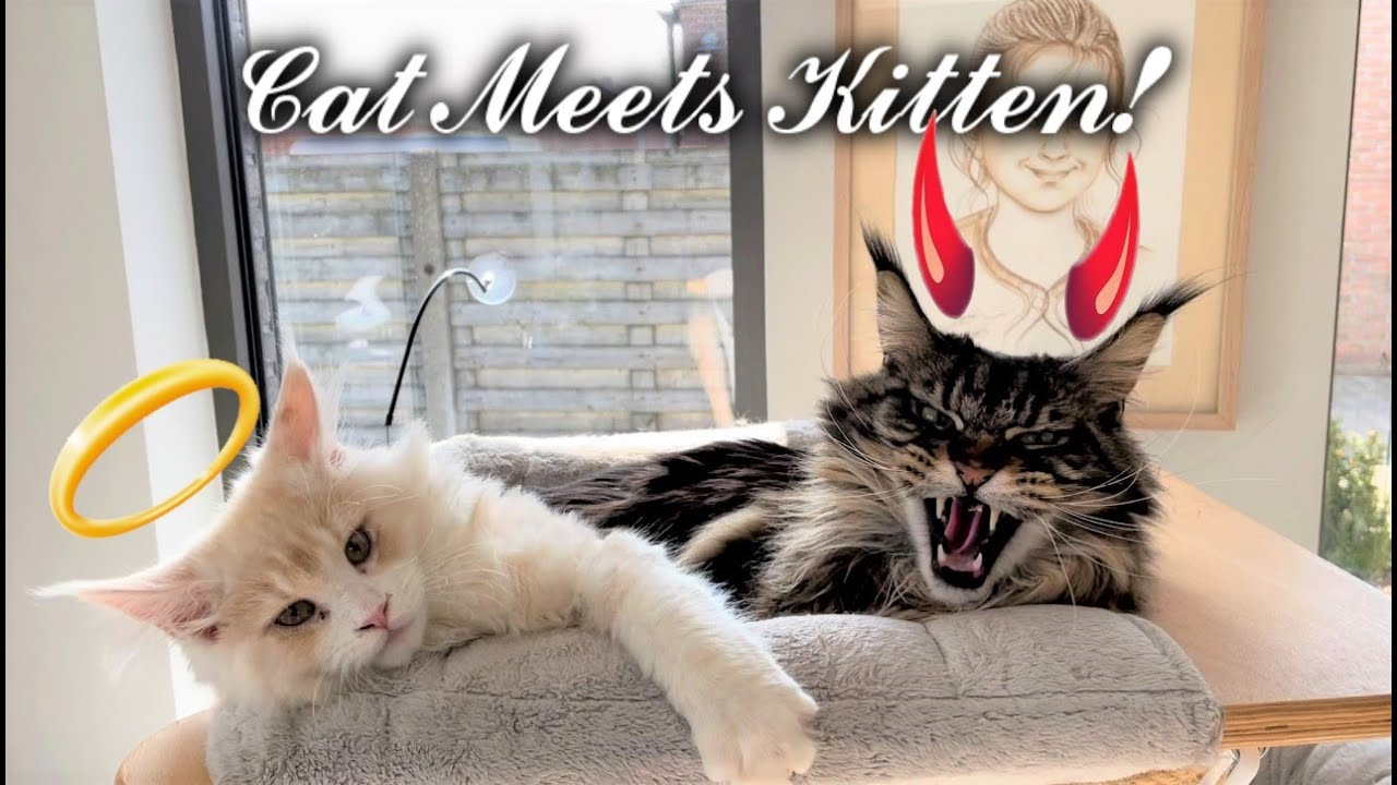 Big Maine Coon Cats meet New Kitten For The First Time.