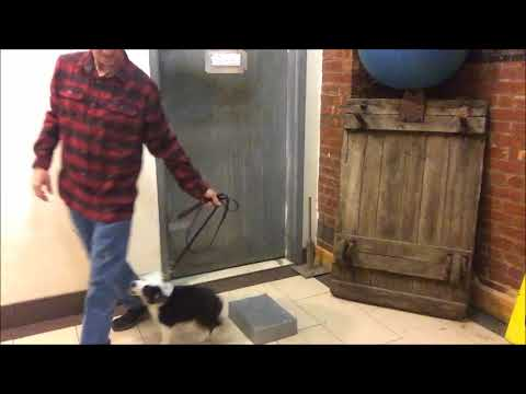 Puppy and Dog Training Tool very Helpful Easy Up and Off with 10 week old