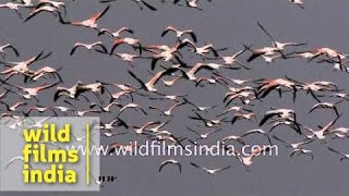 Flamingos unlimited: slow motion flight over Indian wetland!