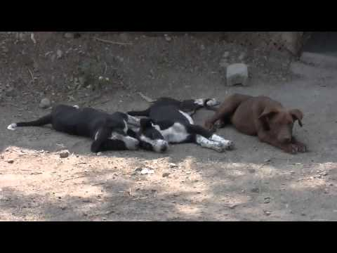 orphaned-indog-puppy-in-agriculture-farm-native-breed-of-dog-india