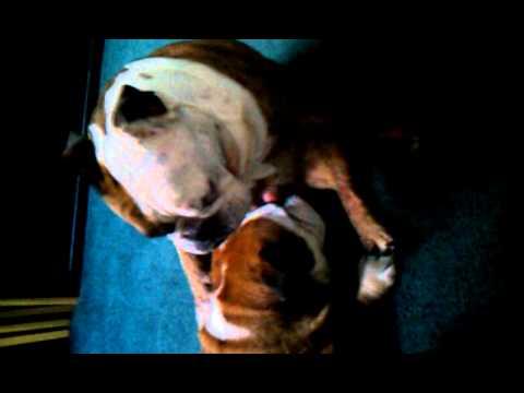 The Bulldog Blowjob 102