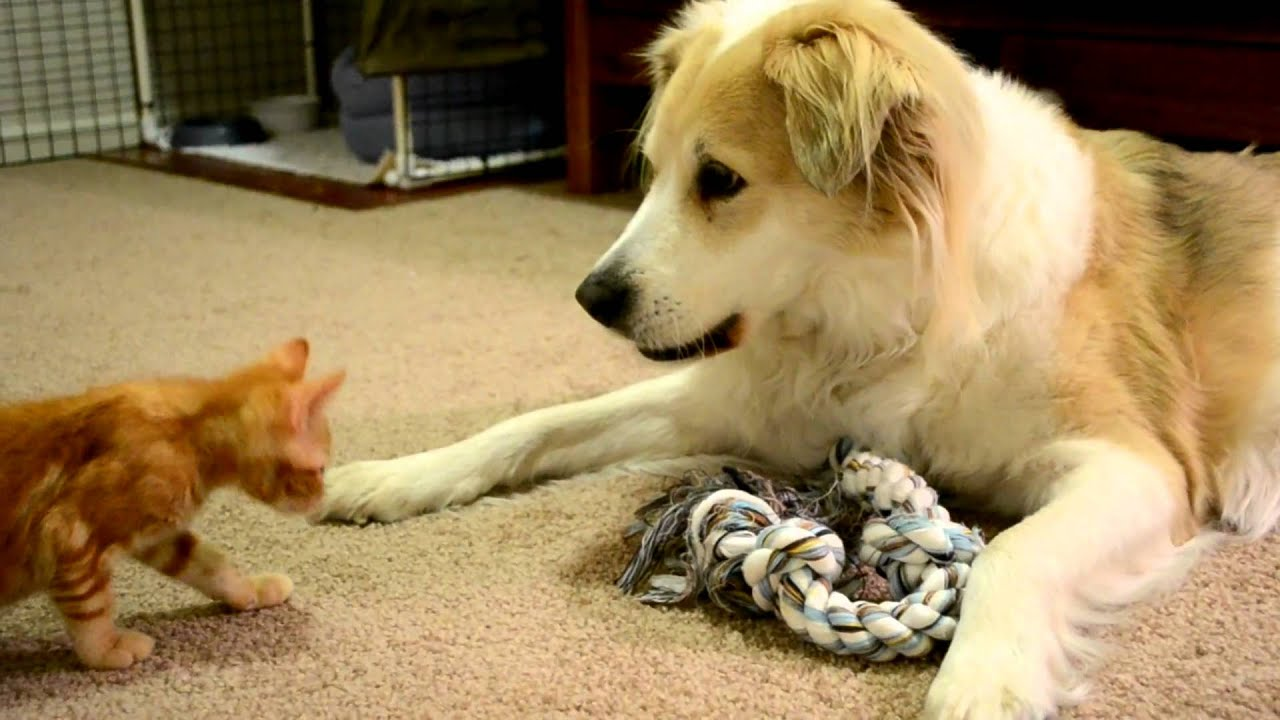video 33 Murkin the Dog playing gently with a kitten