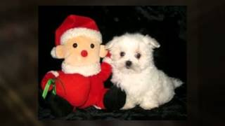 Loveable Maltese Puppy Pictures
