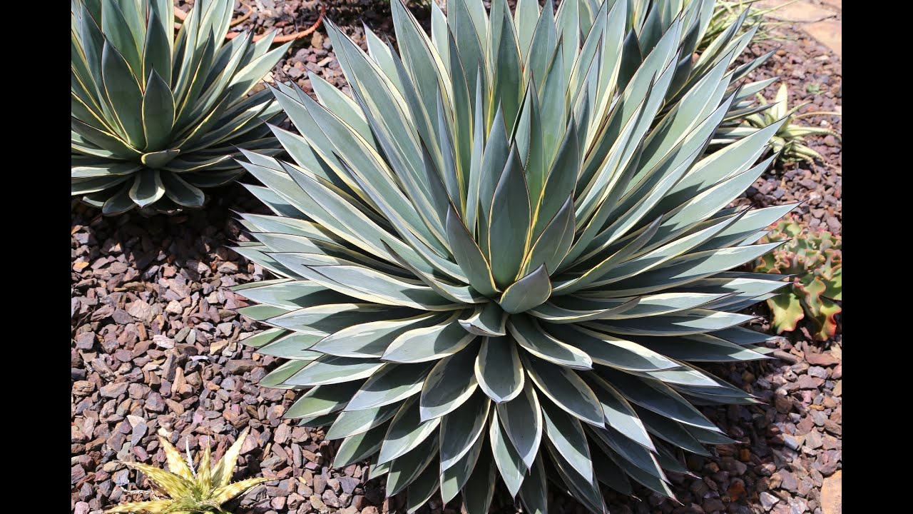 Kelly Griffin agave