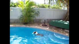 English Bull Terrier Hoku Hawaii Swimming!