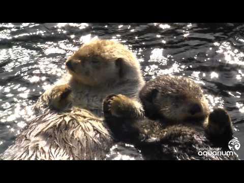 Sea Otters Milo and Tanu Holding Paws