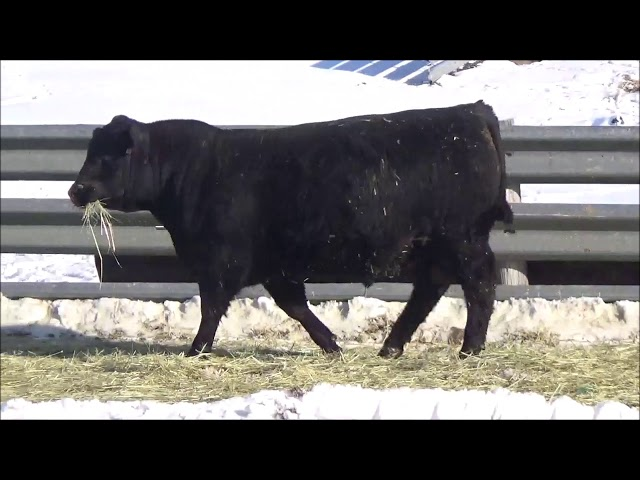 Connealy Angus Lot 140