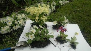 Как вырастить в своем саду многолетнюю примулу?