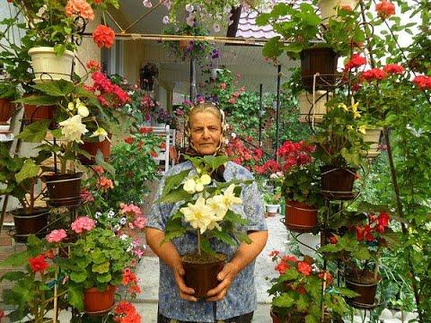 Комнатные цветы азалия фото и уход за рододендроном