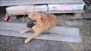 "Миланка. Собака без задних лап. Приют ""Гавкис"" г. Ставрополь"
