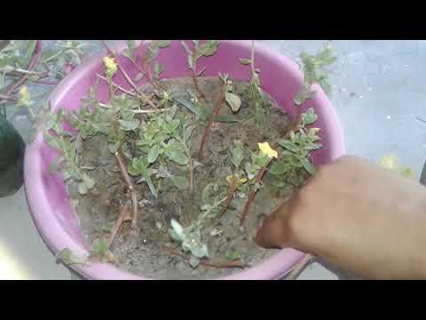 How to grow purslane  plant / purlane  ke paudhe  ko kaise lagaye 🌿🌱🌲🌺
