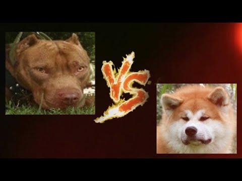 Torneo Perruno 12-16. Pitbull vs Akita Inu