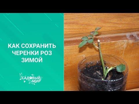 Как сохранить черенки роз до весны в домашних условиях видео