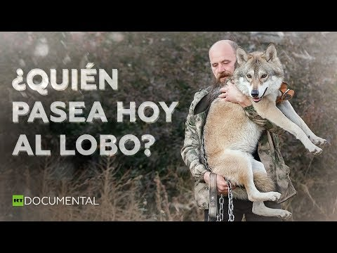 Así es la dura vida de tener un lobo como mascota l Documentales de RT
