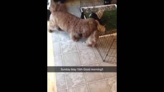 Doggy Lawn Puppy Potty Training - Shakira Plays with Mini Labradoodles - 5/15/16