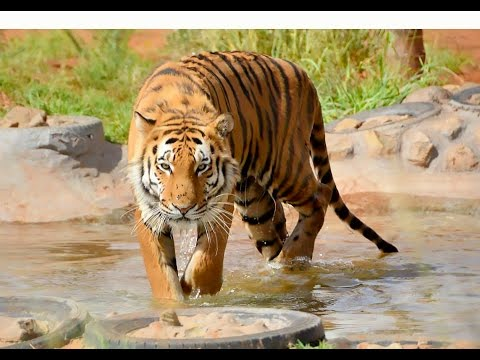 Crouching Hidden Stalking Walking Chuffing Running Siberian Tiger | BIG CAT Walks With A Keeper