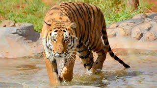 Crouching Hidden Stalking Walking Chuffing Running Siberian Tiger | BIG CAT Walks With A Keeper