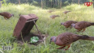 DIY Simple Bird trap Using Eit | How to make a Dove trap vary easy.