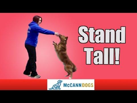 Teach Your Dog To Walk On Hind Legs