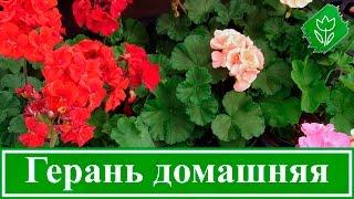 видео Пеларгония уход и выращивание