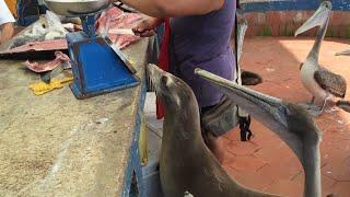 Friendly sea lion waiting for scraps at Galapagos Fish Market