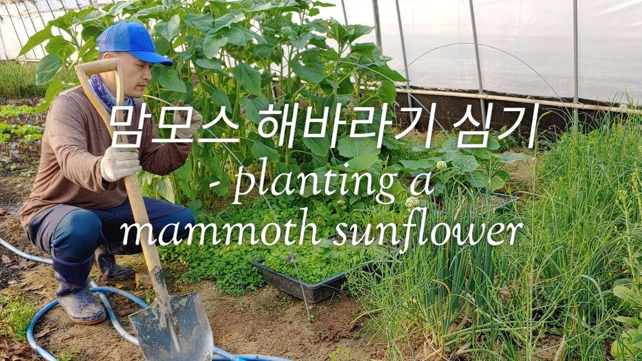 how deep to plant mammoth sunflower seeds