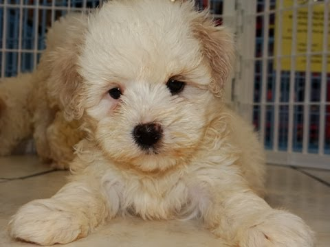 Malti Poo Puppies Dogs For Sale In Albany County