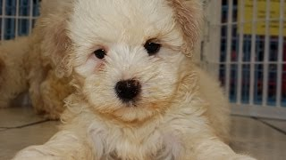 Maltipoo, Puppies, For, Sale, In, Denver, Colorado, Co, Fort Carson, Black Forest, Welby, Greenwood