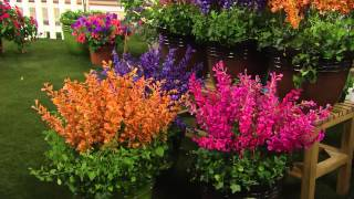 Cottage Farms 6-pc Humdinger Fragrant Nectar Agastache Collection with Carolyn Gracie