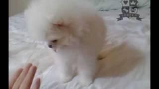 Male Pomeranian