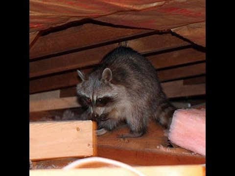 Raccoon Spring Nesting in Attic 2016 | Roof Damage Middlesex County NJ 732-284-3807
