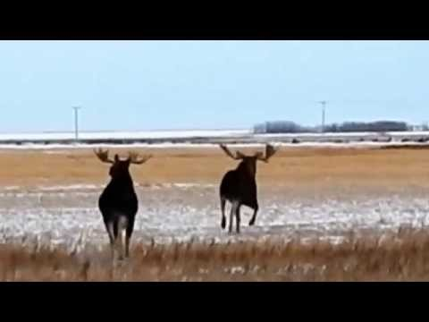 Saskatchewan Moose spotted near Highway 6 and 16