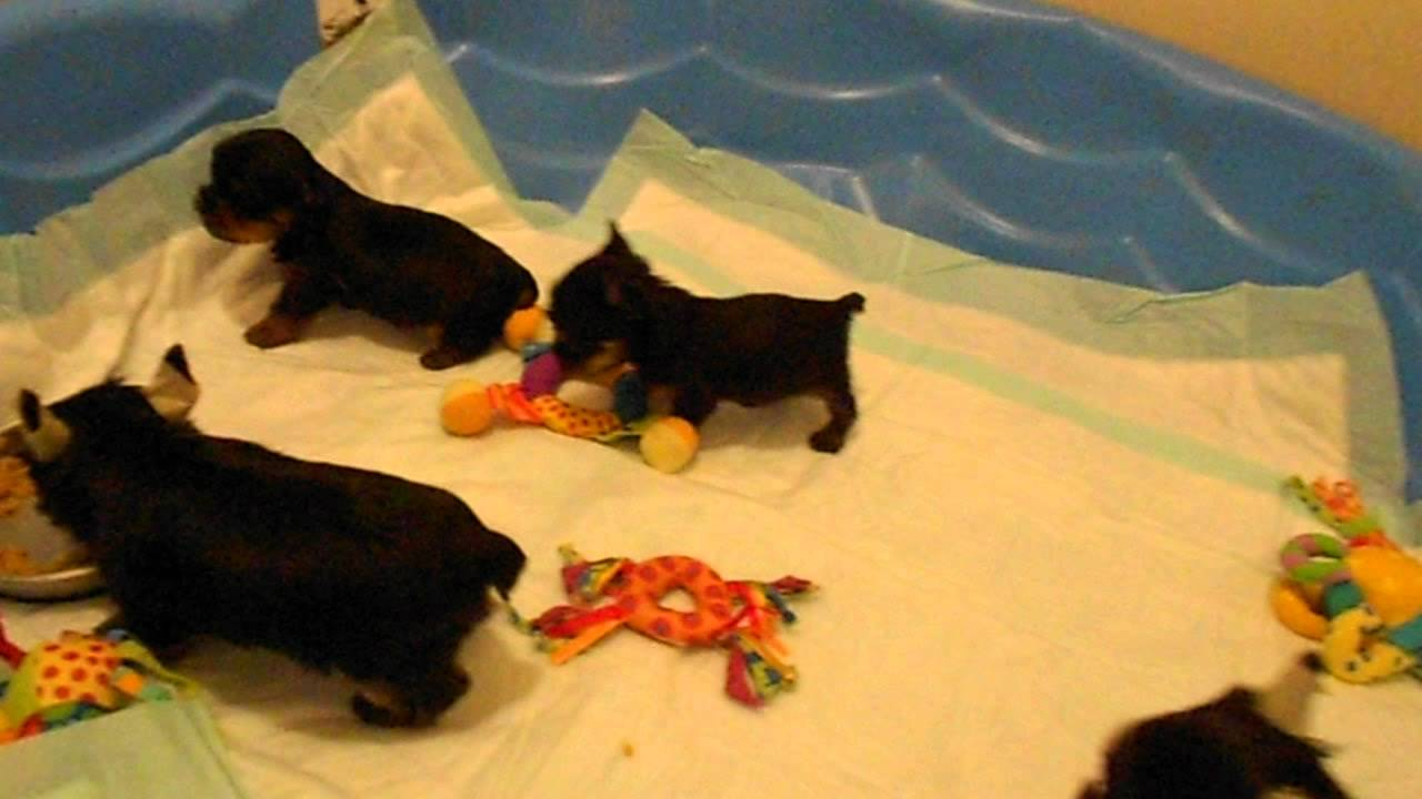 Priceless Yorkie Puppy Yorkshire Terrier Puppies at play