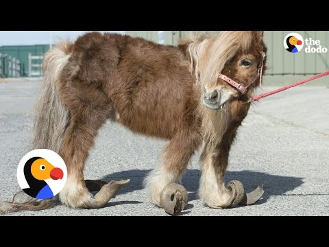 Pony Rescue: Horse with Overgrown Hooves Who Can Hardly Walk Saved | The Dodo