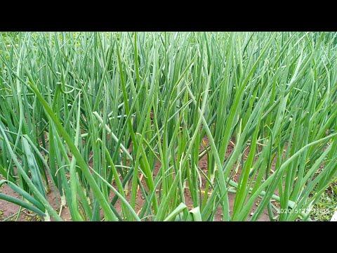 Как вырастить лук и чеснок. Новая технология выращивания лука. Технология. Инновация. Эксперимент...