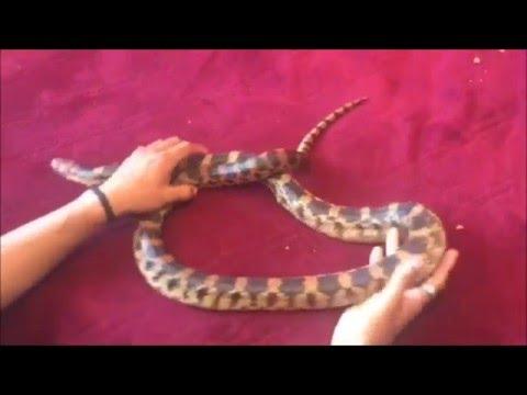 Serpiente maicera, Alicante o Cincuante