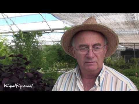 Perilla antialérgica, Otra planta Prohibida